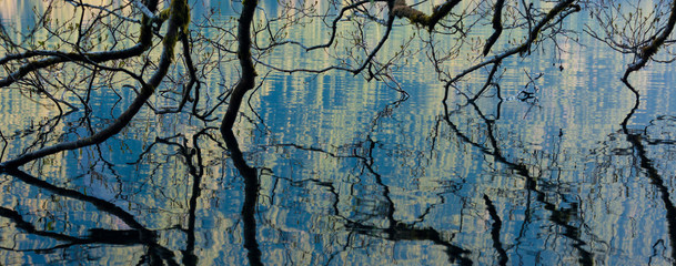Branches dip into the surface of Lake Crescent, Olympic National Park, Washington, USA