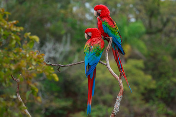 Red-and-green macaws, Ara chloroptera, Buraco das Araras, Brazil