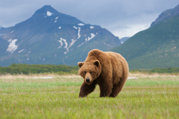 Brown bears, Katmai National Park, Alaska, USA