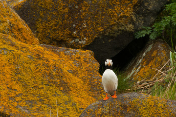 Horned puffin, Katmai National Park, Alaska, USA