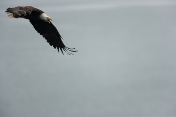 Bald eagle flying in the air, Katmai National Park, Alaska, USA.