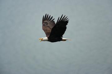 Bald eagle flying in the air, Katmai National Park, Alaska, USA.