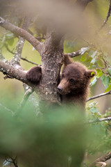 Brown bear cub, Ursus arctos climbing a tree, Katmai National Park, Alaska, USA