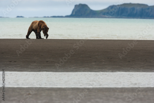 A brown bear in Katmai National Park, walking along the sea shore.