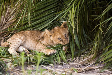 African lion cub chewing at a palm leaf in Botswana