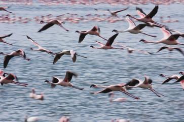 Lesser flamingos, Lake Narasha, Kenya