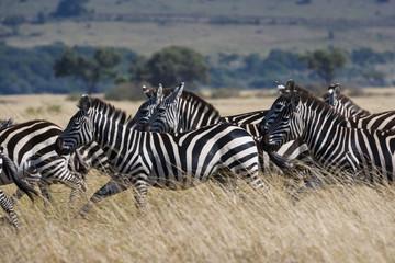 Grant's zebras, Kenya