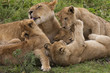 Lion and cubs playing in the Serengeti National Park, Tanzania