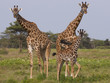 Three masai giraffe in the Serengeti National Park, Tanzania