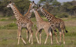 A small group of masai giraffe, Serengeti National Park, Tanzania