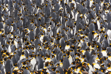 King Penguins, Aptenodytes patagonicus, in a  bird colony on South Georgia Island, on the Falkland islands.