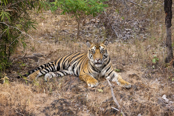 A tiger in Bandhavgarh National Park, India
