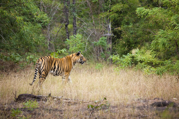 An adult tiger in Bandhavgarh National Park, India