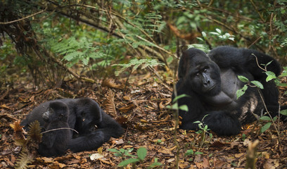 Mountain gorillas and juvenile, Volcanoes National Park, Rwanda