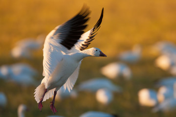 A snow goose landing on the ground in Bosque del Apache National Wildlife Refuge, New Mexico
