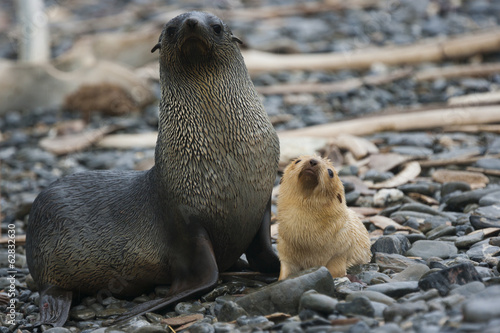 White Antarctic fur seal adult female, with a white seal pup at her side on South Georgia Island on the Falklands islands.