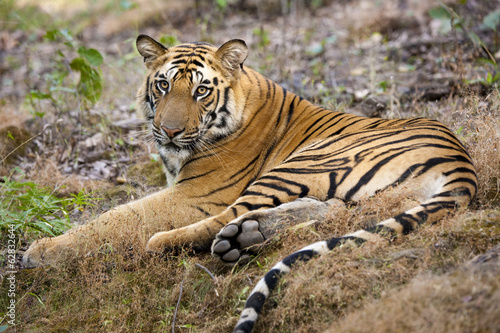 An adult tiger in Bandhavgarh National Park, lying on the ground.