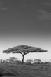 An acacia tree in Serengeti National Park, Tanzania
