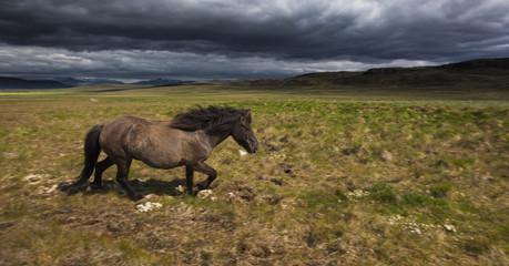 An Icelandic horse on grassland.