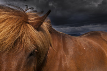 A dun coloured Icelandic horse with a thick brown mane.