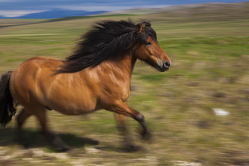 An Icelandic horse galloping in open countryside.