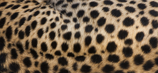 Close-up of cheetah spots on the animal's hide in Serengeti National Park, Tanzania