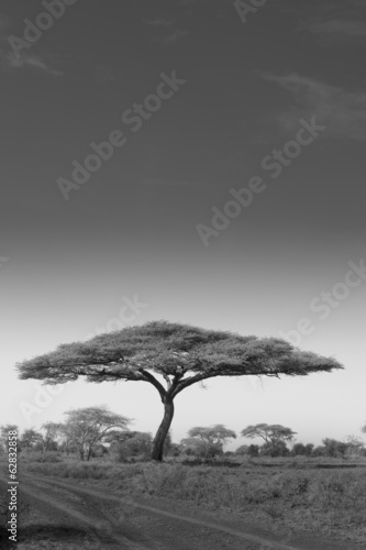 An acacia tree in Serengeti National Park, Tanzania