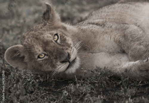 Lion cub lying on the ground in the Serengeti National Park, Tanzania