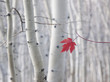 A single red maple leaf in autumn, against a background of aspen tree trunks with cream and white bark. Wasatch national forest.