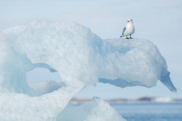 Black-legged Kittiwake, Rissa tridactyla, perched on an ice floe