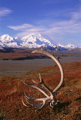 Tundra and caribou antlers in Denali National Park, Alaska in the fall. Mount McKinley in the background.
