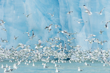 Black-legged Kittiwakes in front of bright blue face of glacier in Svalbard, Norway