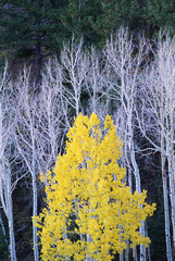 Autumn in Dixie National Forest. White branches and tree trunks of aspen trees, with yellow brown foliage. Dark green pine trees.