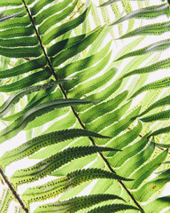 Western sword fern, a single leaf with leaves spaced evenly up the stem. Polystichum munitum.