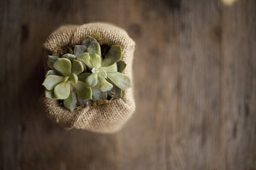 A small succulent plant in a container covered with hessian or burlap, on a dining table.