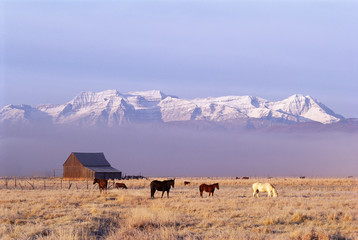 A small group of horses grazing in the Heber Valley. A snowcapped mountain range, and Mount Timpanagos.