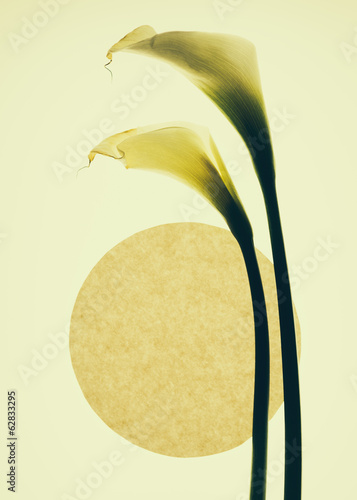 Calla lily flowers and a circle on a cream background.