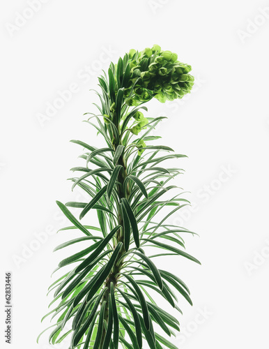 Close up of flowering Euphorbia plant with a curved inflorescence on a white background. Fleshy green leaves.