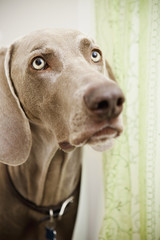 A pedigree breed, a Weimaraner dog in the shower room, hiding behind a shower curtain.