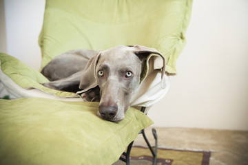 A Weimaraner pedigree dog lounging on a chair.