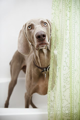 A Weimaraner dog standing looking around a shower curtain, in the bathroom.