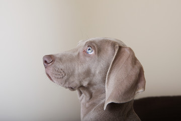 Profile of a weimaraner puppy, a side view of the head.