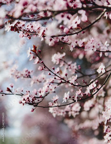 Blooming ornamental plum tree. Pink blossom on the branches. Spring in Seattle