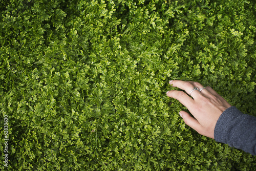 A woman's hand stroking the lush green foliage of a growing plant. Small delicate frilled edged leaves.