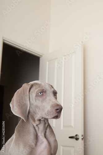 A Weimaraner puppy in a room with an open doorway in the background.