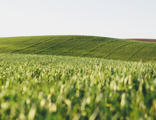 A view across the ripening stalks of a food crop, cultivated wheat growing in a field near Pullman, Washington, USA.