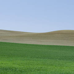 Lush, green rolling hills of the farmland near Pullman, Washington USA. A field of green ripening wheat crop plants.
