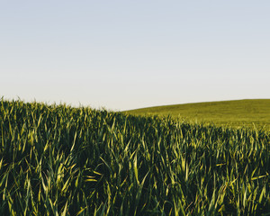 Lush, green rolling hills in a landscape. A crop of wheat growing and ripening near Pullman in Washington state.
