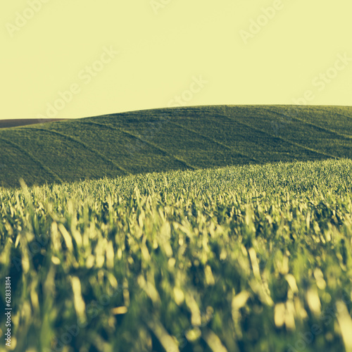A view across the ripening stalks of a food crop, cultivated wheat growing in a field near Pullman, Washington, USA