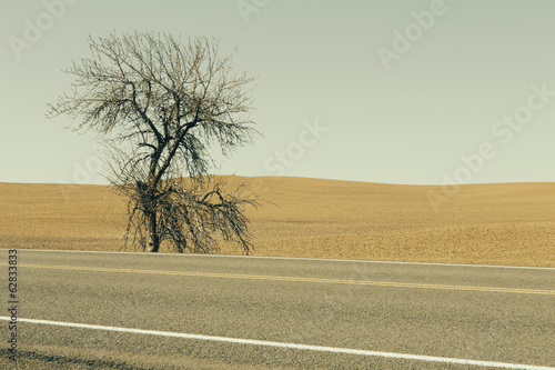 A Cottonwood tree at the roadside in a landscape of ploughed fields and farmland near Pullman in Washington state.